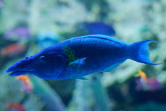 Wrasse рта птицы в голубом аквариуме стоковое изображение rf