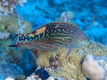 Wrasse рыб коралла Vermiculate Стоковые Изображения RF