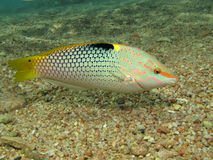 Wrasse royalty free stock images