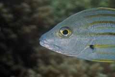 Wrasse Stock Photos