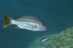 Wrasse Royalty Free Stock Image