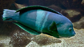 Wrasse 3 Stock Images