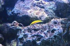 Wrasse amarelo Fotografia de Stock Royalty Free