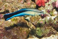 Wrasse azul del producto de limpieza de discos de la raya en acuario Imagen de archivo