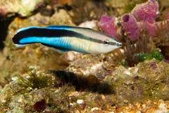 Wrasse azul do líquido de limpeza da raia no aquário Imagem de Stock