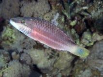 Wrasse Bandcheek рыб коралла Стоковые Изображения RF