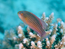 Wrasse Blitzgeber des Roten Meers Stockfotografie