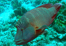 Wrasse de Humphead Image stock