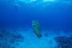 Wrasse de Humphead com mergulhador de mergulhador fotos de stock