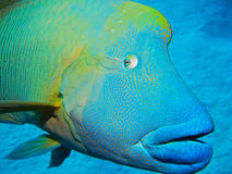 Wrasse de Humphead, récif de barrière grand, Australie Photo stock