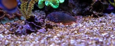 Wrasse de léopard dans l'aquarium de récif Photos stock