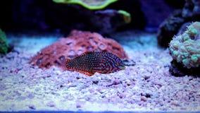 Wrasse de léopard dans l'aquarium de récif coralien Image libre de droits