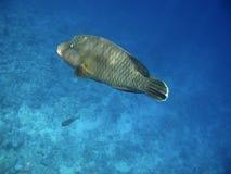 Wrasse de Napoleon et récif coralien Photos libres de droits