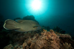 Wrasse de Napoleon y vida subacuática tropical. Imagen de archivo