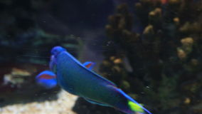 Wrasse in the decorated Marine Aquarium stock footage video stock video