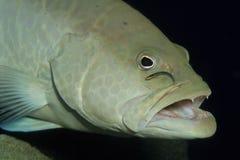 Wrasse, der durch kleine Fische gesäubert wird Lizenzfreie Stockbilder