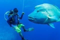 Wrasse di Humphead con l'operatore subacqueo di scuba immagine stock libera da diritti