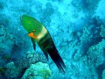 wrasse för rött hav för broomtailcheilinuslunulatus Arkivbilder