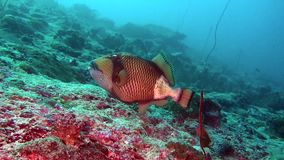 Wrasse fish on background of clear seabed underwater of Maldives. stock video