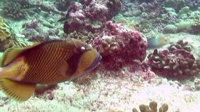 Wrasse fish on background of clear seabed underwater of Maldives. stock video footage
