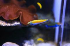 Wrasse fish Stock Images