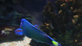 Wrasse im verzierten Marine Aquarium-Vorratgesamtlängenvideo stock video