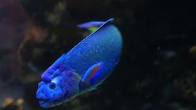 Wrasse im verzierten Marine Aquarium-Vorratgesamtlängenvideo stock footage