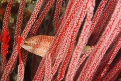 Wrasse maori delgado - orientalis de Oxycheilinus Fotografia de Stock