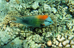 Wrasse Multicolor do slingjaw (macho) foto de stock