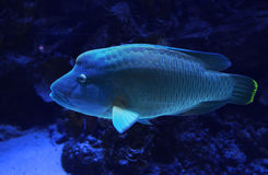 Wrasse Royalty Free Stock Photography