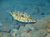 Wrasse Stock Images
