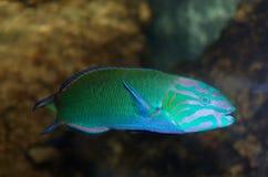 wrasse thalassoma луны lunare рыб аквариума стоковое изображение rf