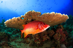 Wrasse under table coral reef in the Maldives Royalty Free Stock Photo
