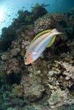 Wrasse variopinto del Rainbow su una barriera corallina tropicale. Fotografia Stock Libera da Diritti