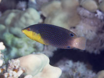 Wrasse Yellowbreasted рыб коралла Стоковое Изображение