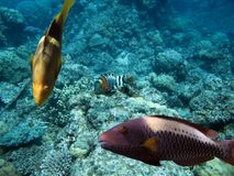 Wrassereef Royalty Free Stock Images