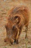 Wrattenzwijn Stock Fotografie