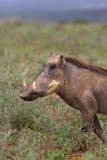 Wrattenzwijn Stock Foto's
