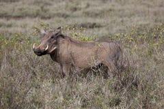 Wrattenzwijn Stock Afbeeldingen