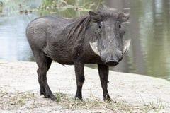 Wrattenzwijn Stock Foto