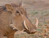 Wrattenzwijn royalty-vrije stock afbeelding