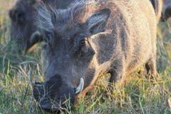 Wrattenzwijn Afrikaans wild varken Royalty-vrije Stock Afbeelding