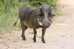 Wrattenzwijn Afrikaans zoogdier royalty-vrije stock foto