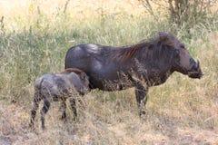 Wrattenzwijn Afrikaans zoogdier royalty-vrije stock foto's