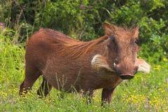 Wrattenzwijn in Bloemen Royalty-vrije Stock Foto's