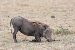 Wrattenzwijn dat neer knielt te eten Stock Afbeeldingen