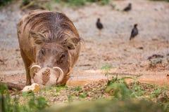 Wrattenzwijn in de modder Stock Foto