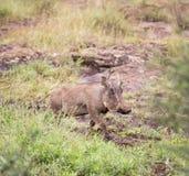 Wrattenzwijn in de savanne royalty-vrije stock fotografie