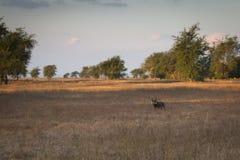 Wrattenzwijn in de savanne van het Nationale Park van Gorongosa Royalty-vrije Stock Foto