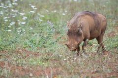 Wrattenzwijn in de wildernis Royalty-vrije Stock Foto